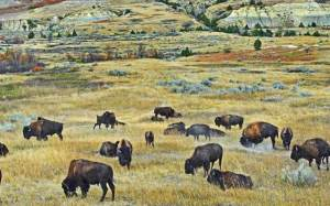 Buffalo at Theodore Roosevelt National Park
