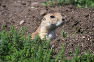 Black-tailed Prairie Dog at Sullys Hill National Game Preserve