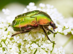 Rose chafer feeding on white flowers